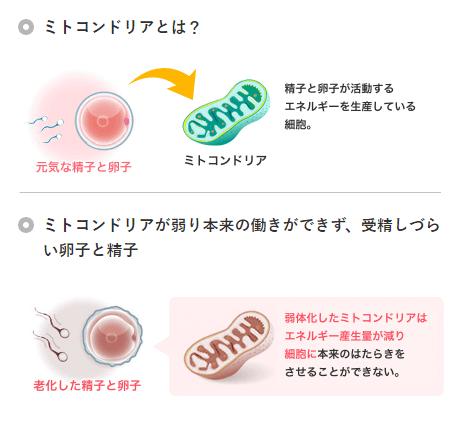 妊活に有効なミトコンドリアについて