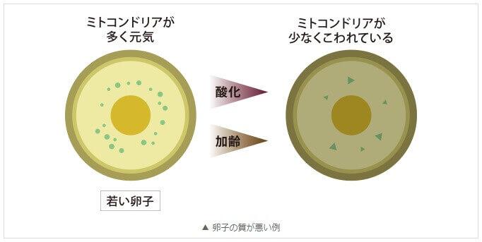ミトコンドリアの量が減少すると、卵子の質も低下します。