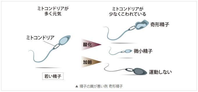 ミトコンドリアが減少することで精子の質も低下します。