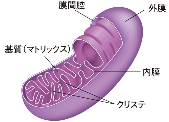 体内でエネルギーを作りだすミトコンドリア